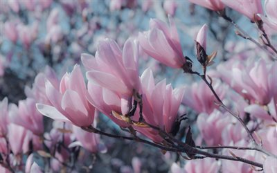 magnolia, spring blossoms, pink spring flowers, spring, magnolia branch, background with magnolias
