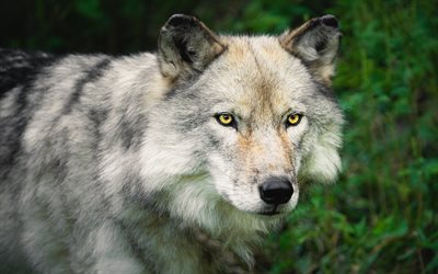 wolf, predator, wildlife, wild animals, dangerous animals, wolves