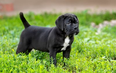 Cane Corso, grass, puppy, cute animals, dogs