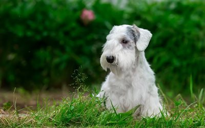 Sealyham Terrier, puppy, grass, dogs