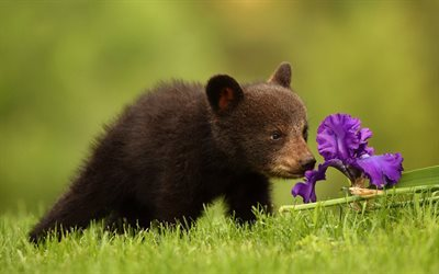 bear cub, cute animal, iris, bears