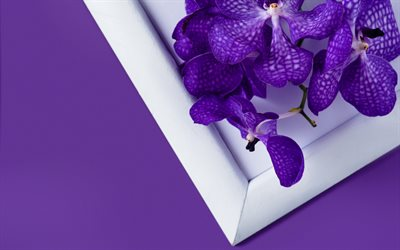 purple orchid, potted plants, tropical flowers, orchid on a purple background, orchids