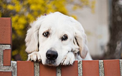 Golden Retriever, sad dog, close-up, cute dogs, pets, small labradors, dogs, Golden Retriever Dog, cute animals