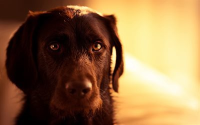 chocolate labrador, muzzle, dogs, retriever