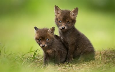 Small foxes, green grass, small animals, foxes, cute animals