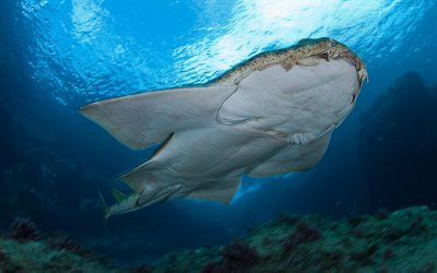 Squatina squatina, angelshark, monkfish, shark, Atlantic Ocean, under water, dangerous animals, predator, sharks