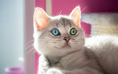 gray cat, heterochromia, cute animals, bokeh, pets, British Shorthair, cats, domestic cat, British Shorthair Cat