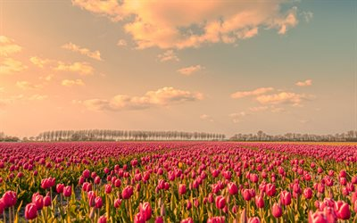 tulip field, sunset, evening, wildflowers, tulips, pink tulips, Netherlands