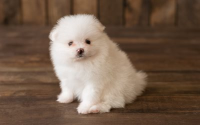white fluffy puppy, pomeranian spitz, small white dog, pets, puppies, cute animals
