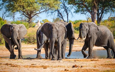 elephants, wildlife, elephants family, Africa, lake, desert, wild animals