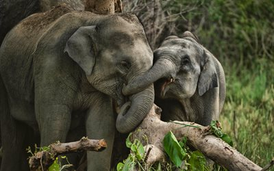 4k, small elephants, family, wildlife, elephant battle, savannah, african elephant, elephants, Africa, Elephantidae