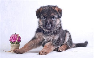 German Shepherd Dog, puppy, small dog, cute animals, dogs