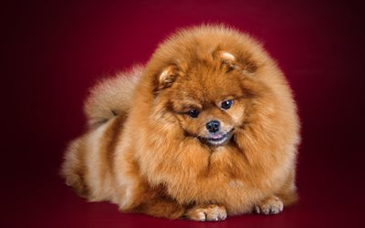 Pomeranian, puppy, little cute dog, fluffy dog, cute animals, dogs