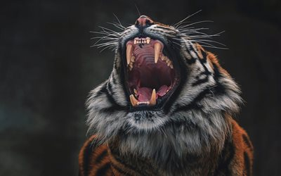 tiger, rage, fangs, wildlife, angry tiger, predator, wild cat, dangerous animals, tigers