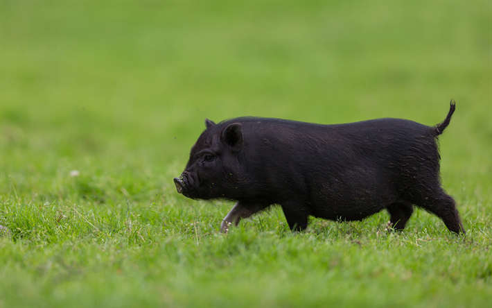 Download Wallpapers Black Funny Pig Green Grass Funny