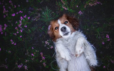 Kooikerhondje, little cager dog, white brown dog, pets, dogs, spaniel, green grass