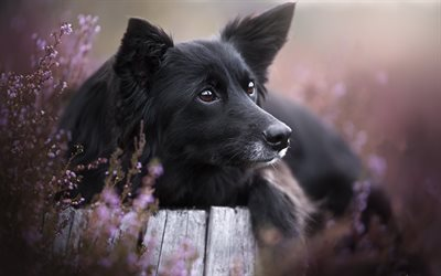 Border Collie, black big dog, pets, cute animals, wild flowers, dogs