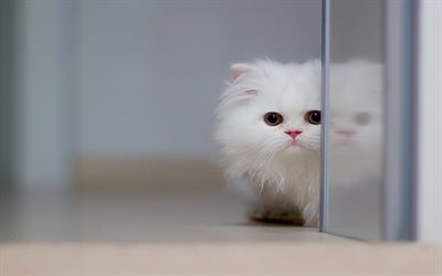 Persian Cat, close-up, white cat, kitten, fluffy cat, cats, domestic cats, pets, Persian