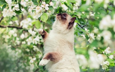 Himalayan Cat, spring, close-up, white flowers, cute animals, cats, Himalayan