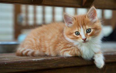 little ginger kitten, gray eyes, little fluffy kitten, cute animals, little cats, pets, cats