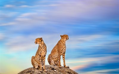 cheetahs, predators, wild cat, Africa