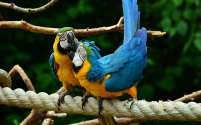 Blue-and-yellow macaw, tropical birds, parrots, macaws