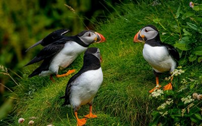 puffins, wildlife, grass, Fratercula arctica, Atlantic puffin