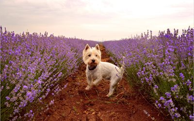 West Highland White Terrier, Curly Dog, Pets, Cute Animals, Dogs, Lavender Field, Poltalloch Terrier, Roseneath Terrier