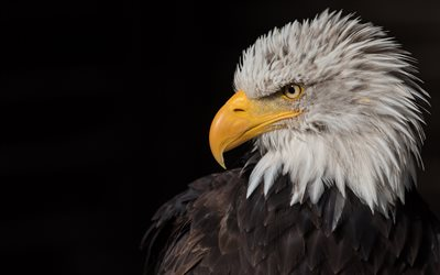 bald eagle, predator, bird of prey, North America, eagle, symbol of the USA, beautiful bird