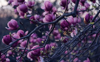 magnolia, spring flowering, purple flowers, spring, flowering magnolia, garden, spring flowers