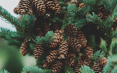 cones on the tree, forest, tree, cones, spruce branch, cones on spruce branch