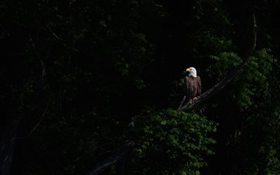 Bald eagle, eagle on a branch, eagle, birds of prey, eagles, North America, USA