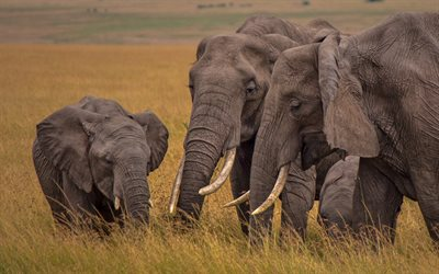 elephant family, little elephant, Africa, wildlife, wild animals, elephants, evening