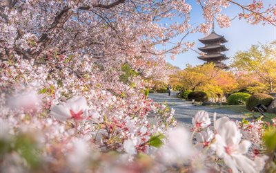To-ji Temple, spring, Kyoto, Buddhist temple, sakura, cherry blossom, morning, park, Japan