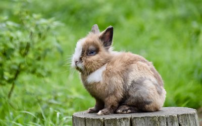 fluffy rabbit, cute animals, bunnies, pets, brown bunny, small animals