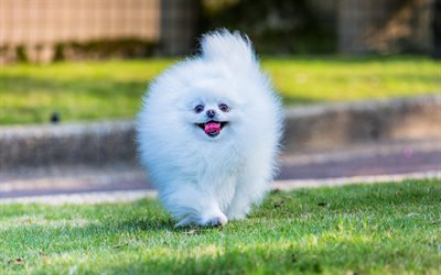 spitz, white pomeranian, dogs, pomeranian, Japanese spitz, cute animals