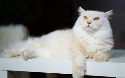 white fluffy cat, british shorthair cats, pets, cute animals, cats