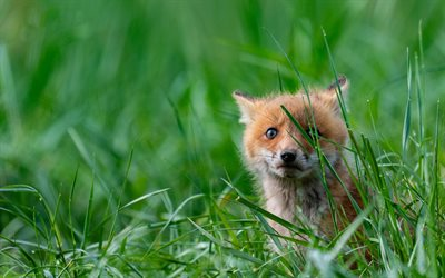 little fox, green grass, wildlife, foxes