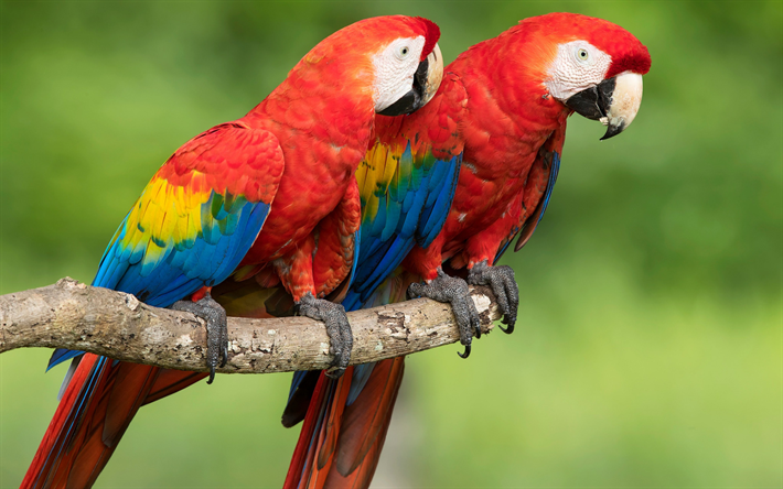 Scarlet macaw, pair of parrots, beautiful red birds, parrots, macaw, South America