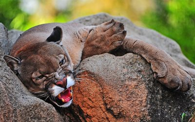 cougar, sharp teeth, wild cat, wildlife, predator, forest