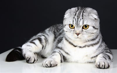 4k, Scottish Fold, cats, kitten, pets, cute animals, Scottish Fold Cat