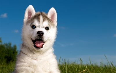 4k, Siberian Husky, puppy, dogs, pets, Chukcha, cute animals, Husky