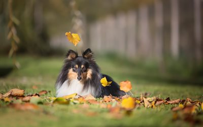 Sheltie, dog, autumn, shetland sheepdog, pets, green grass lawn