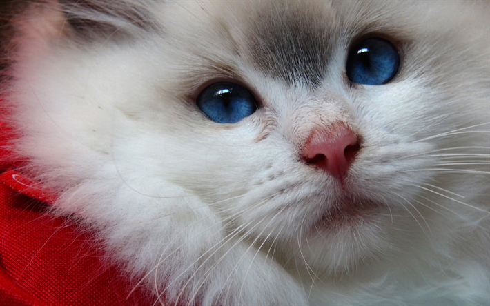Download Wallpapers Ragdoll Cat 4k Pets Muzzle Ragdoll Kitten Cute Animals Cats Ragdoll For Desktop Free Pictures For Desktop Free