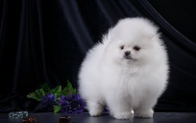 white Spitz, small dog, fluffy dogs, pets