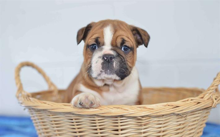 Herunterladen hintergrundbild beabull 4k niedlich hund for Minimalismus haustiere