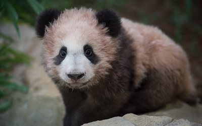 small panda, 4k, cub, pink panda, cute animals, zoo, pandas, Ailuropoda