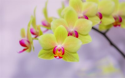 green orchids, tropical flowers, potted plants, orchids branch, beautiful flowers, orchid