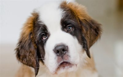 4k, Saint Bernard, muzzle, puppy, pets, dogs, cute animals, Saint Bernard Dog