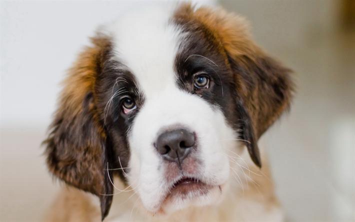 Top Saint Bernards Anime Adorable Dog - thumb2-4k-saint-bernard-muzzle-puppy-pets  Gallery_776981  .jpg
